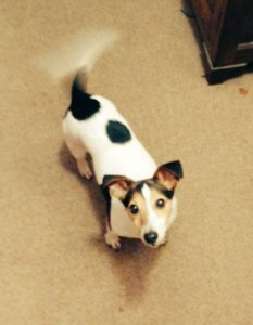 A Jack Russell dog, looking up at the camera, wagging his tail so hard it blurs